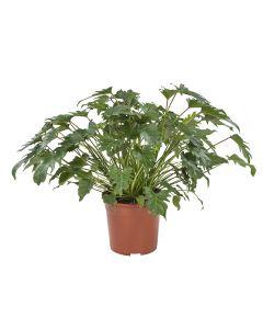 Philodendron Xanadu groene plant